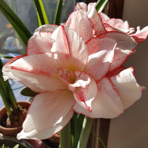 'Striped Amadeus' light pink with red edge flowering amaryllis