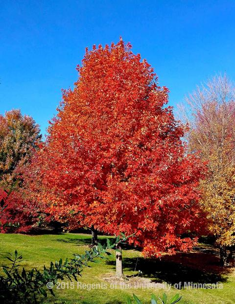 Upright tree with bright red foliage.