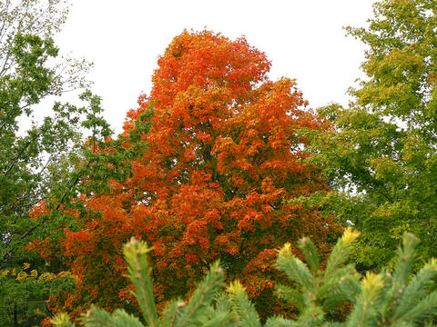 Orange and red maple tree sticking out above spruce branches.