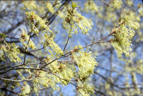 Light green bunches of flowers on branches without leaves.