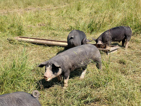 Black pigs with white snouts in a grassy field.