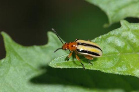 A yellowish beetle with a red head and three black lines down its back seen on a green leaf