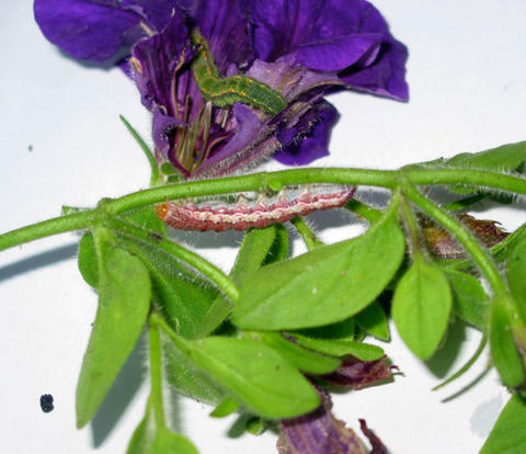 A green caterpillar feeding inside a ripped purple flower and a red caterpillar crawling on the stem