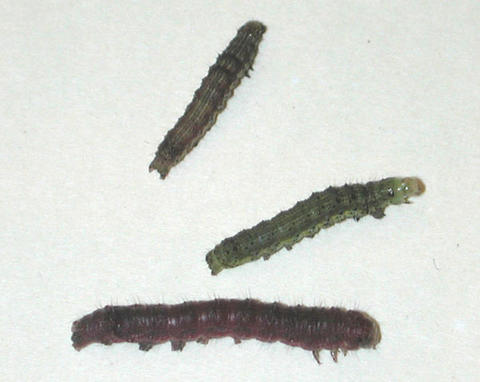 Two green and one brown caterpillar-like tobacco budworm