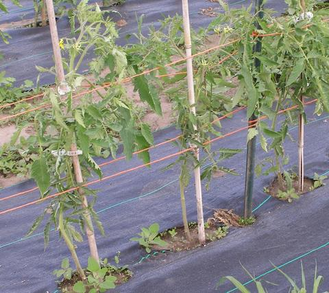 three tomato plants in a row tied to stakes with lower third of leaves removed from the plant