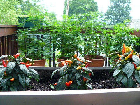Small pepper plants with red, orange, and yellow ornamental peppers grow in a trough at the front of the image. Behind them are four tomatoes growing in terracotta pots with metal tomato cages. The plants are on a deck, with trees and the roofline of a house in the background.
