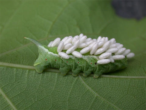 A green caterpillar on a green leaf with several white cocoons on its back.