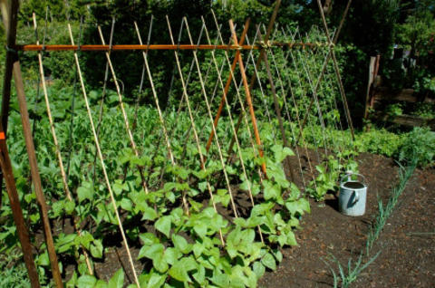 Trellis with horizontal and diagonal wooden poles supporting a vining green vegetable crop