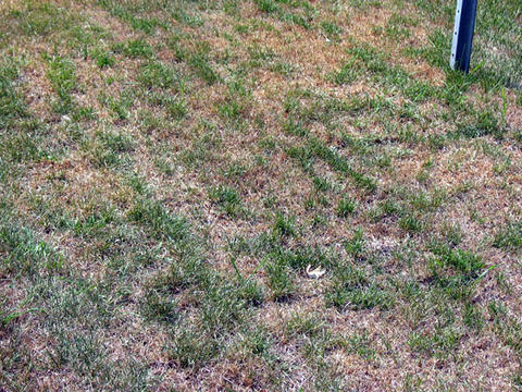 Green lawn turning brown.