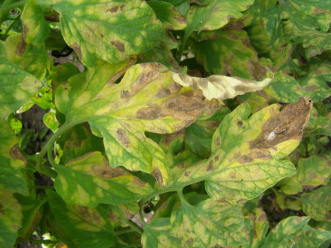 Leaf Mold Of Tomato Umn Extension