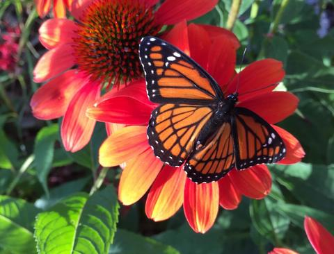 Viceroy butterfly on coneflower