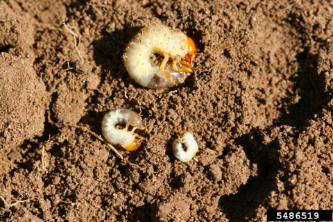 Three white grub