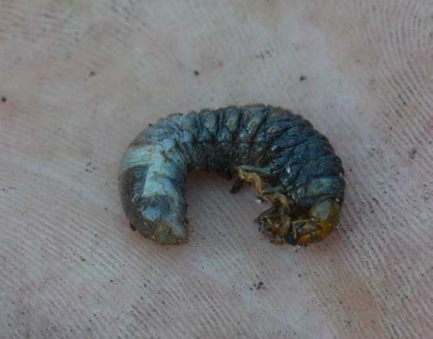 A white grub dying