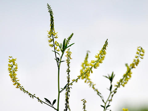 close up of yellow flowers on white and yellow sweetclover