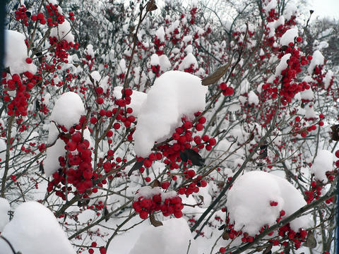 Red berries on bush covered in snow.