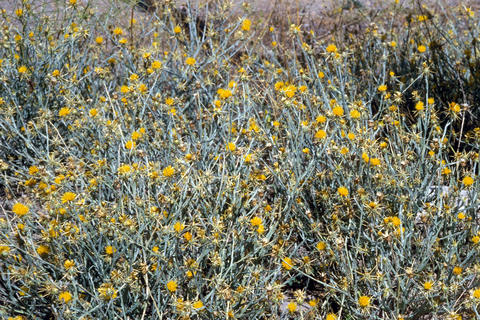 many yellow starthistle growing in the grass