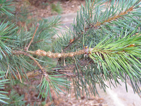 Tiny, round galls on a pine branch