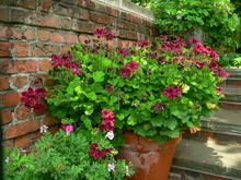 A glazed, brown planter with magenta flowers and deep green leaves