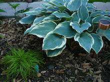 A green Hosta with big green leaves and whitish-yellow edges
