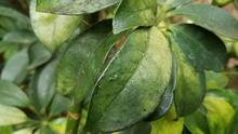 Small, shiny, sticky spots on greenish-yellow leaves