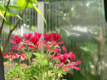 Clusters of bright, red geranium flowers