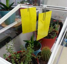 Two yellow sticky cards hung above some green plants. Tiny, black flies can be seen trapped on them.