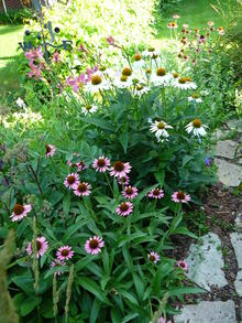 Many daisy-like flowers of pink and white color with brown centers in a garden