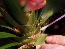 A white ear swab being used to remove tiny, powdery white insects on green leaves