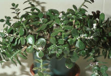 Powdery white residue seen on numerous shiny jade leaves