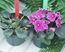An African violet plant with shrinking leaves versus an African violet plant with healthy leaves and purple flowers