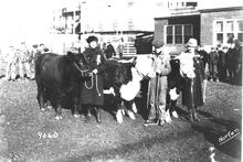 Historical black and white image of young men and women with cows