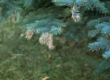 Brown tips of spruce tree