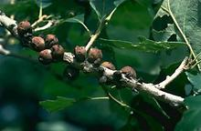 Brownish fruit like structures on branches