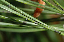 Black spots on green pine needles