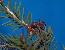 Brown sticky clumps on a spruce branch