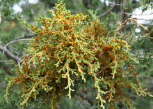 Orange jelly from juniper broom rust forms on needles and along cracks in infected bark.