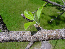 Several grayish scales on a greenish-brown crabapple branch
