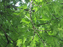 Cottony clusters on brown branches