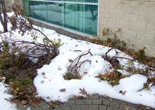 Rhododendrons crushed under snow. Image: Rebecca Finneran, MSU Extension