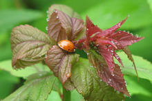 Reddish aphid on a red spirea leaf