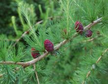 Tamarack cones, foliage and new growth