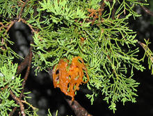 Orange tentacle-like cedar apple rust projections that are 1/2 to 3/4 inch long on branches