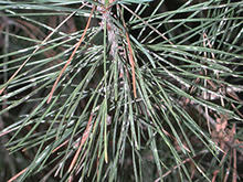 White patches on green pine needles