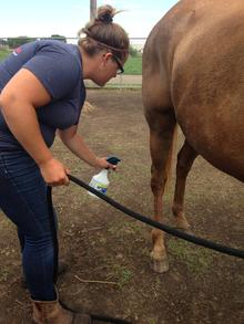 Individual applying fly spray to the horse's legs.
