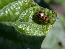 Bean leaf beetles   UMN Extension