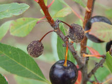 Two small, shriveled plums and one health plum still on tree.