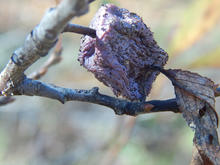 Shriveled, brown plum still attached to branch.