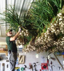 Fresh harvested bunches of garlic being hung from racks in ceiling of building with man standing on top of ladder adding a bunch to the rack.