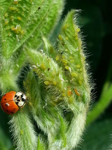A lady beetle