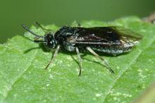 A black fly with clear wings on a leaf